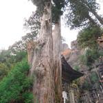 06矢立杉