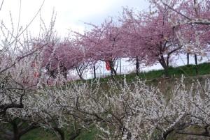 善地会場の梅林と河津桜の様子