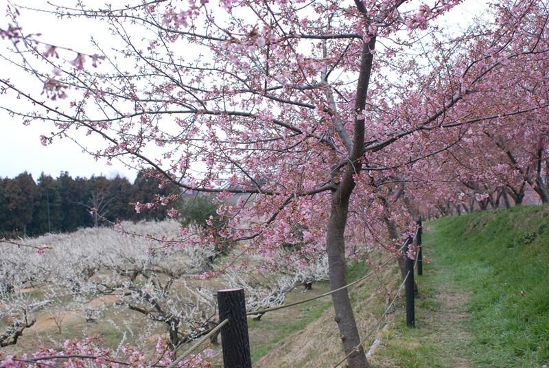 善地会場の河津桜と梅の様子