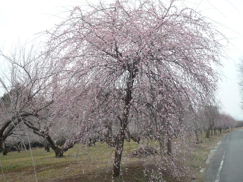 蟹沢会場付近の枝垂れ梅